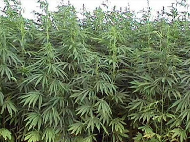 Dibçəkdə narkotik bitki əkiblər