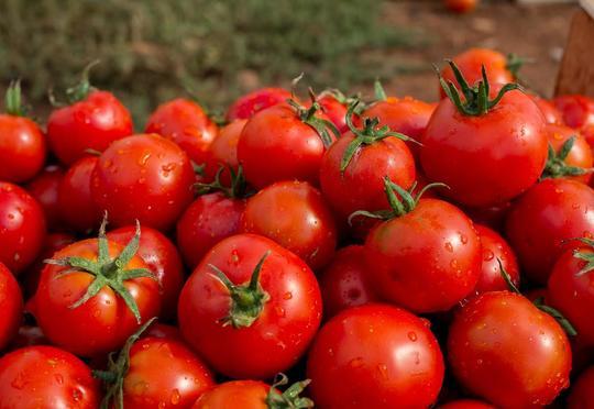 Rusiya Türkiyədən pomidor idxalına rəsmi icazə verdi