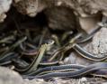 snake_ilan_060215_13