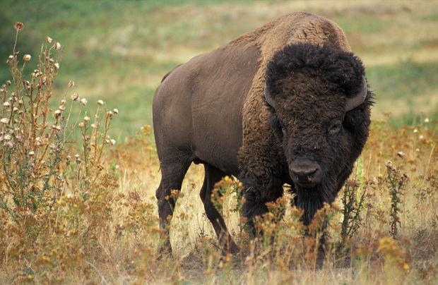Azərbaycana bizonlar gətirildi