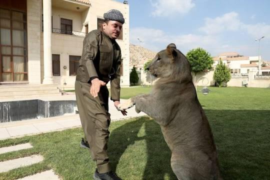 İraklı heyvansevər aslanı evcilləşdirdiyini iddia edir