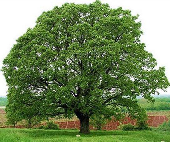 Yüz illik ağacı kəsdi, 300 min funt-sterlinq cərimə olundu